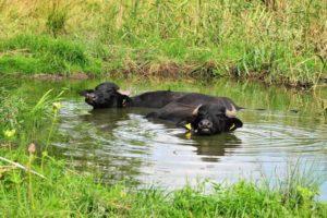 Wasserbüffel (Foto: Mauritianum/W. Zimmermann)