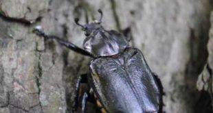 Eremit (Osmoderma eremita) (Foto: Mauritianum)