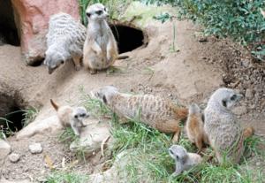 Nachwuchs bei den Erdmännchen (Foto: Ronny Seifarth)